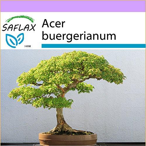 SAFLAX - Arce tridente - 30 semillas - Acer buergerianum