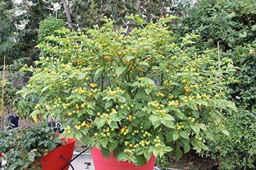 15 Aji Charapita Semillas Pimiento picante, C frutescens, de la región amazónica de Perú