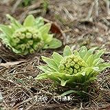 【紫桜館山の花屋】山菜苗:フキノトウ(蕗の薹) 素掘り苗5
