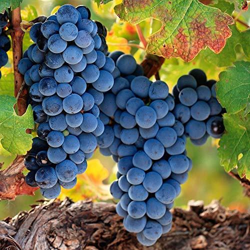 Qulista Samenhaus - Schweiz 30pcs Rarität Tafeltraube 'Muscat Bleu', veredelt Weintrauben ertragreich schmackhaft Obstsamen winterhart mehrjährig