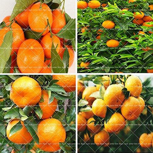 20 Graines Rose orange graines de fleurs parfumées pour bonsaï de plantation de jardin à la maison nouvelle année cadeau surprise