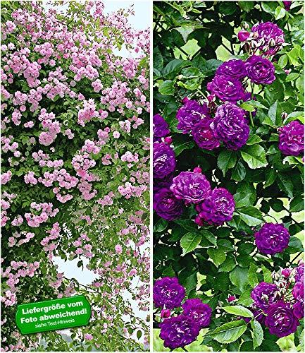 BALDUR Garten Rambler-Rosen-Kollektion blau und rosa, 2 Pflanzen Kletterrose winterhart mehrjährige Kletterpflanzen