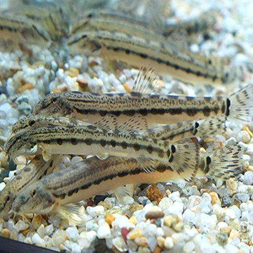 【生体】スジシマドジョウ(5匹)/どじょう 約4cm~5cm前後 生体 川魚