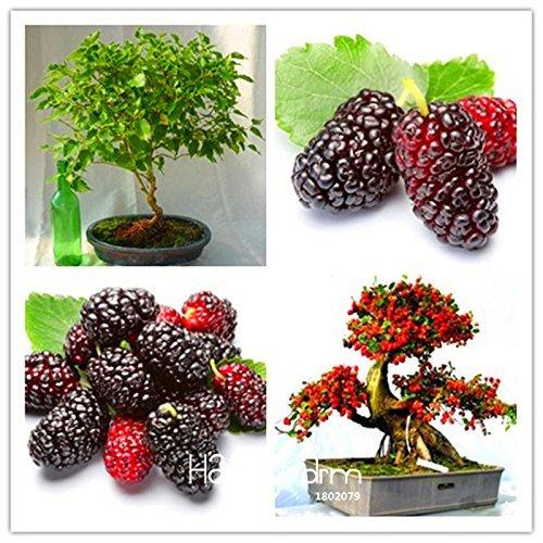 Arrival100PCS mulb erry Bags Mulberry Fruit Seeds DIY Home Bonsai Morus Nigra Tree, Black Mulberry Seeds Plants,PQWIC100