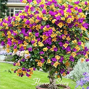 AL 100 Neue Echt Blooming Rare Blau Pflanzen Bougainvillea spectabilis Willd Bonsai Pflanzensamen