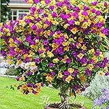 100 Color Mix pot Bougainvillier Balcon, fleur plante bonsaï cour extrêmement voyantes, florifère plante rustique