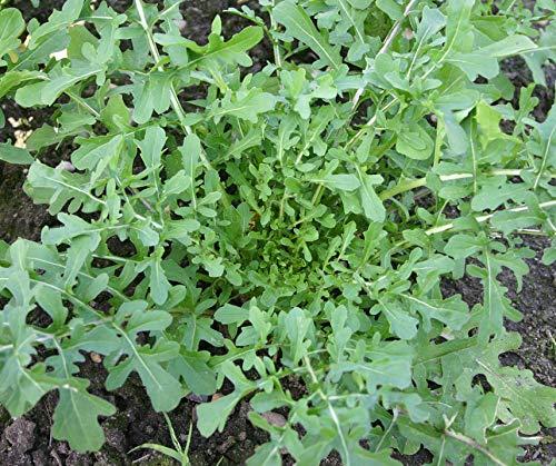 Bobby-Seeds Bio-Salatsamen Rucola Esmee Portion