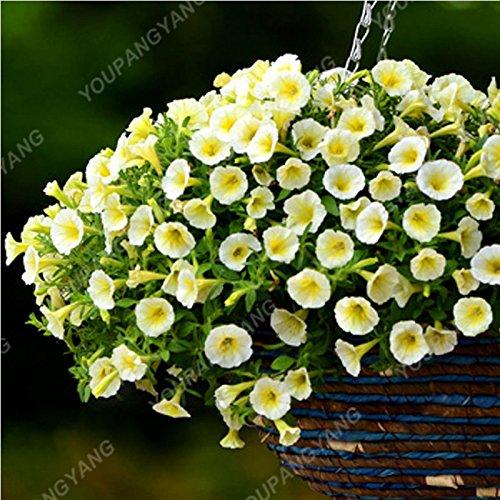 100pcs/Paquet Bonsai Hanging Petunia Graines de couleurs mélangées Belle graines de fleurs Bonsai pot Bricolage & Jardin Livraison gratuite Jaune