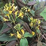 3 x Geissblatt Henryi (Lonicera) Kletterpflanzen: 3 kaufen/2 bezahlen/Gelb - Immergrün, Mehrjärig & Winterhart - 1,5 Liter Topfen - ClematisOnline