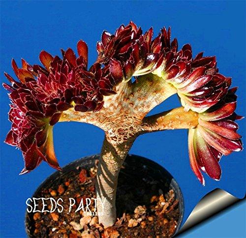 Vente chaude! Plantes 10Pieces / Lot Belles graines de fleurs rares cactus graines Succulent kaktus lithops hybride bonsaï, # 1X90MO