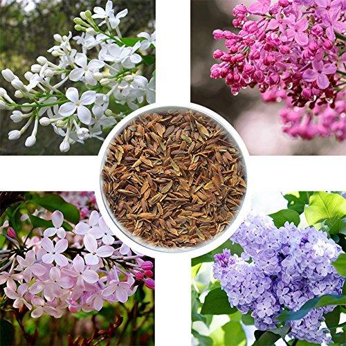 good01 50er Flieder Nelken Blumensamen | Hausgarten DIY Topf Bonsai Pflanzen Dekoration Lila