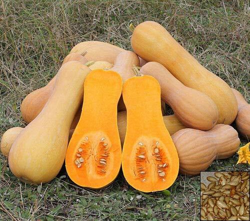 FERRY HOCH KEIMUNG Seeds Nicht NUR Pflanzen: Squash - Muscade De Provence - 25 Seeds - Moschus-Kürbis # 1018