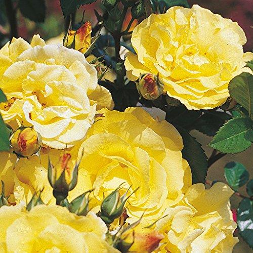 Kordes Rosen Lichtkönigin Lucia Strauchrose, kräftiges zitronengelb, 12 x 12 x 40 cm