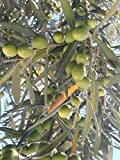 Pixies Gardens (1 Gallon Arbequina Fruiting Olive-The Plant Will Produce Olive Fruits-Dark Brown Fruit with Highly Aromatic Oil Content Self-Pollinating Fruit …