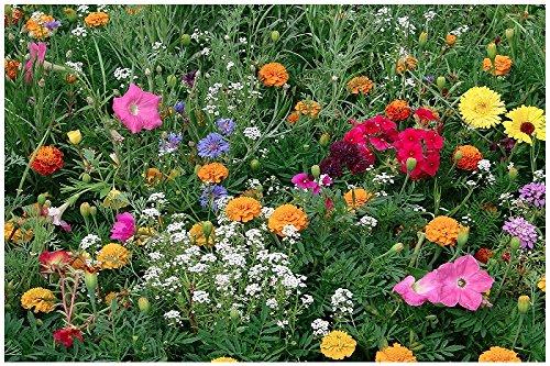 Lot de 100 graines de fleurs d'été demi-hautes en mélange - plantes annuelles