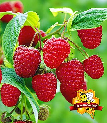 BALDUR-Garten Himbeeren TwoTimer® Sugana®, 1 Pflanze Rubus idaeus Himbeerpflanze - 2