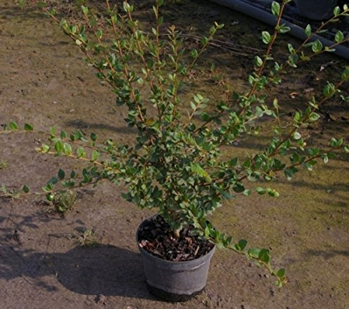 Cotoneaster dielsianus - Diels Zwergmispel - Graue Strauchmispel - Graue Felsenmispel Preis nach Größe 60-100 cm