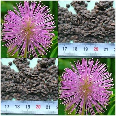 Echte Mimose (Mimosa pudica)- 200 Samen - schamhafte Sinnpflanze