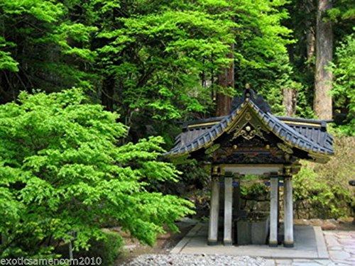 Japanische Zeder Cryptomeria japonica frosthart Bonsai geeignet 1000 Samen