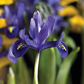 Best pre chilled tulip bulbs Reviews