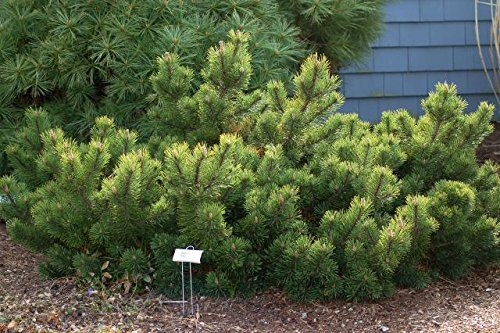 Krummholz Kiefer Bergkiefer - Pinus mugo mughus - verschiedene Größen (34-45cm - 5Ltr.)