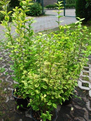 Goldliguster Ligustrum ovalifolium Aureum 80-100 cm hoch im 5 Liter Pflanzcontainer