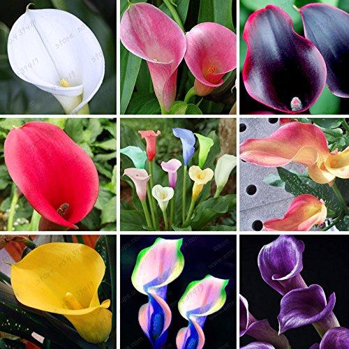 200 bunte Calla-Lilien-Samen, Mischfarben, seltene Pflanzen Blumensamen, Haus im Garten Topfbalkonpflanze, Strahlungsabsorption