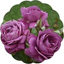 Best purple roses to grow Reviews