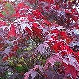 Acero Rosso Giapponese'Acer Palmatum Atropurpureum' vaso 9x9 cm
