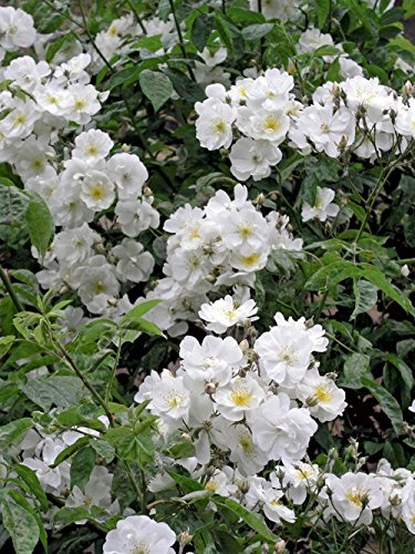 'Bobbie James', Rambler-Rose im Rosen-Container