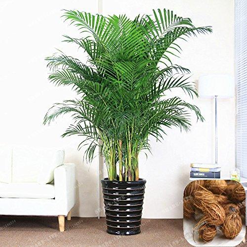 Chrysalidocarpus Lutescens Samen Seltene Areca Palm Bonsai Samen Indoor Schmetterling Palm sät DIY Hausgarten-Anlagen 5 PC/Beutel