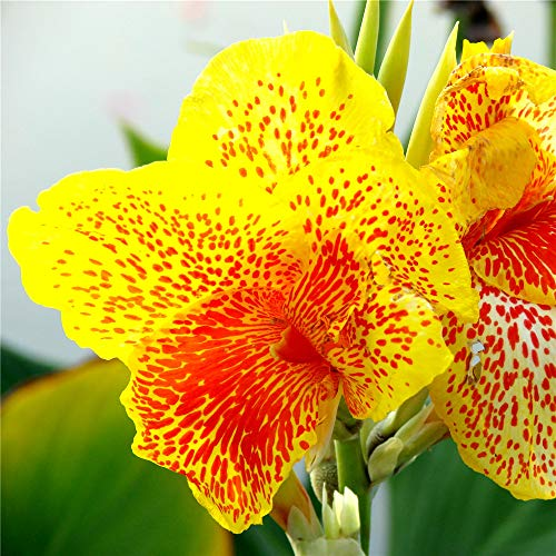 TENGGO Egrow 10 Teile/Paket Canna Samen Pflanzen Indoor Outdoor Topf Blumensamen Hausgarten Yard Bonsai - Yellow to Red