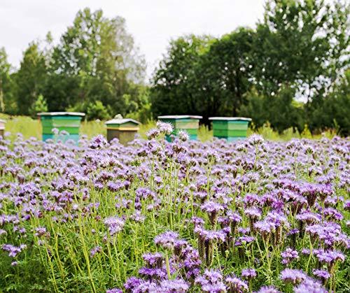 Phacelia Bienenfreund Bodenkur von bobby-seeds, einjährige Gründüngung und Bienenweide 2,5 KG