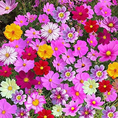 Fnho Perennes Semillas de Flores,Jardín Planta en Maceta perenne,Cosmos, Semilla Glasan Semilla-Varilla Corta_1000grain