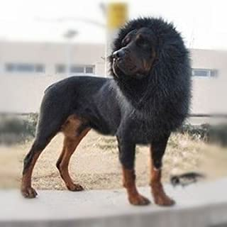 SPORER Lion Mane for Dog, Dog Costume with Gift [Lion Tail] Lion Wig for Halloween and Christmas