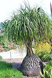 100 Seeds Beaucarnea Recurvata, Rare Elephant Foot Ponytail Palm Caudex Bonsai