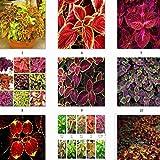 Las semillas de color de la hierba, semillas de flores perennes en maceta de Bonsai planta del coleo Blumei Flor caliente Semillas de coleo 50seeds / pack