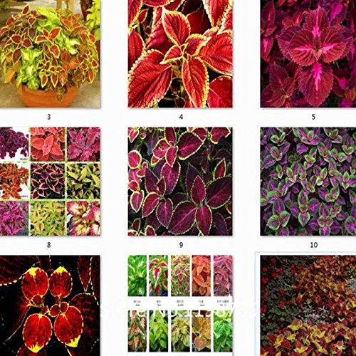 Farbige Grassamen, Staudenblumensamen Topf Bonsai Pflanze Coleus Blumei Hot Blumensamen coleus Samen 50seeds / pack
