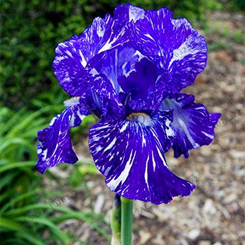 50pcs / sac graines Iris, fleur populaire de jardin de plantes vivaces, graines de fleurs rares coupe magnifique fleur pour la plantation jardin maison orchidée 15