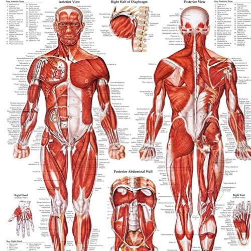 parti del corpo 70x50cm analisi manifesto olio tela materiali 1 packMuscular sistema anatomico poster sistema muscolare Anatomical Chart poster Stampa Poster laminato Anatomia Grafico