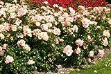 Aprikola® - Container Rose im 4 ltr. Topf