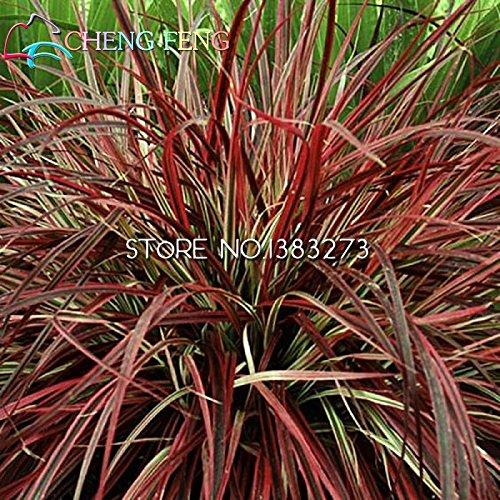 2016 la venta caliente de escalada semillas de picea azul bonsai semillas Evergreen Colorado en Casa y Jardín estructura de la instalación Semillas-100