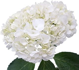 GlobalRose 20 Fresh Cut White Hydrangeas - Fresh Flowers For Weddings or Anniversary.