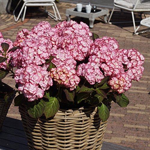 Hydrangea Miss Saori Plant 9cm Pot