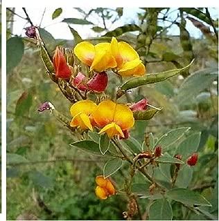 Vegetable Seeds 30 Pigeon Pea Dhal Gungo Puerto Rico Bean Cajanus Cajan AB001