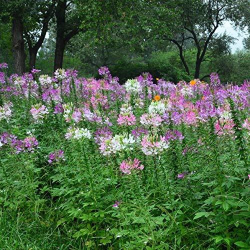 Cleome Samen, Blumensamen, vier Jahreszeiten, Landschaftsbegrünung, Gartenbau, Blumen und Pflanzen, 300 lange Blumen - Cleome 800 Kapseln