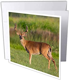 3dRose White-Tailed Deer, Odocoileus virginianus Buck with Antlers. - Greeting Cards (gc_332227_2)