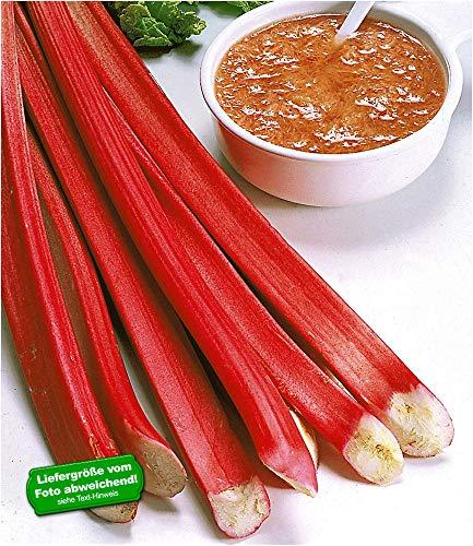 BALDUR Garten Blut-Rhabarber, 3 Knollen Rheum rhabarbarum