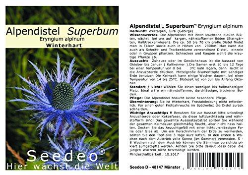 """Seedeo® Alpendistel """" Superbum"""" (Eryngium alpinum) 30 Samen"""