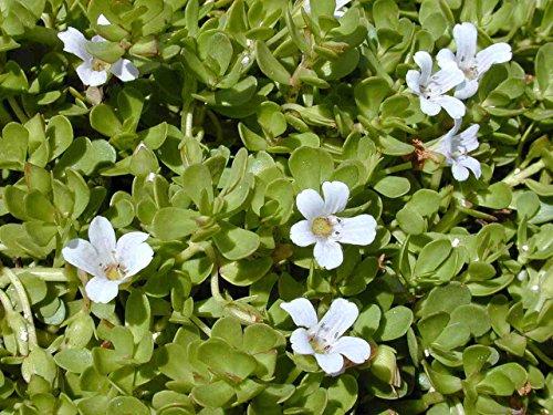 Asklepios-seeds® Bacopa monnieri, 100 Samen, Brahmi, kleines Fettblatt, monieri Saatgut